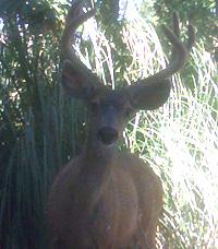 Antler_Deer